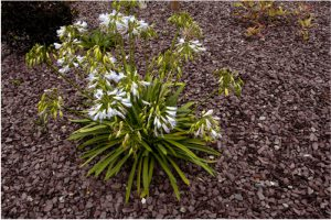 Plum Slate Mulch for gardens